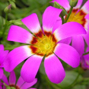 Juvenility and flowering of Brunonia and Calandrinia