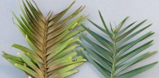 Temperature limits for relictual rainforest Araucariaceae