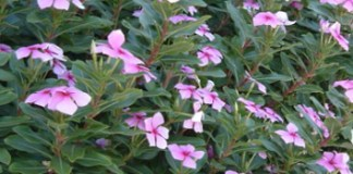 A genetic linkage map of Catharanthus