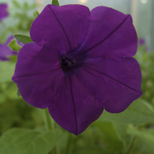 S-RNase-based self-incompatibility in Petunia