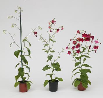 Somatic hybrids of Nicotiana