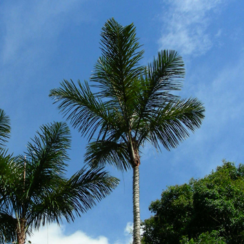 Geographical ecology of the palms (Review)