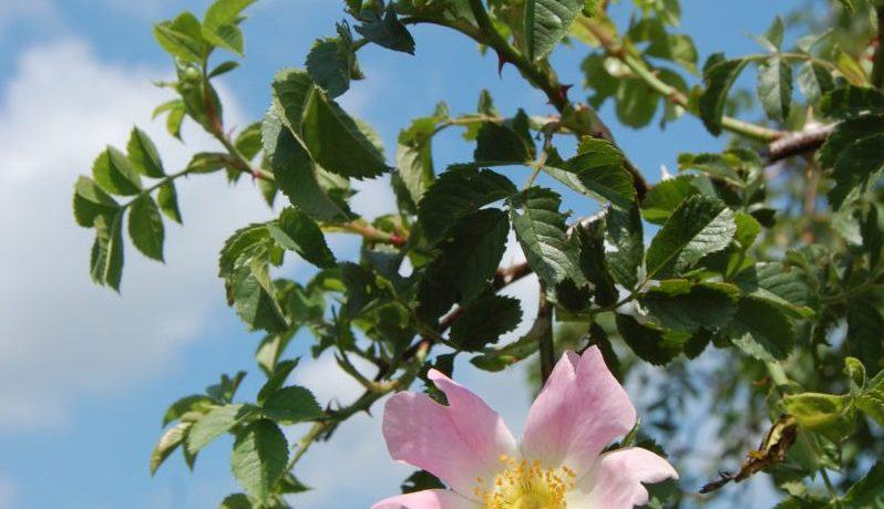 Dog rose, Rosa canina, used on an Annals of Botany cover