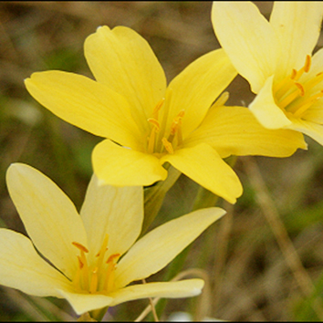 Genome size in Narcissus hybrids