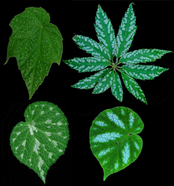 Photosynthetic costs of foliar variegation in Begonia
