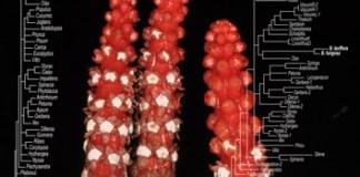 Rate heterogeneity of holoparasitic Balanophora