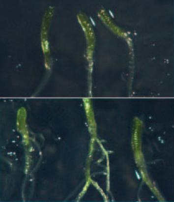 Gene-dosage effects of WEE1 in arabidopsis hypocotyls