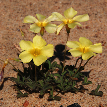 High ploidy diversity and cytotype distribution in Oxalis