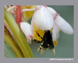 Bombus terrestris, the bumble bee.