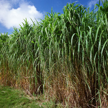 Chilling-shock responses in Miscanthus