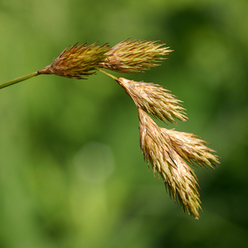 Species coherence in a cytogenetically diverse sedge