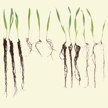 HvAACT1 increases Al3+-tolerance in wheat and barley