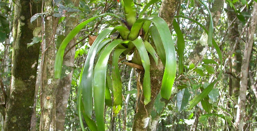 Mutualistic ants contribute to tank-bromeliad nutrition