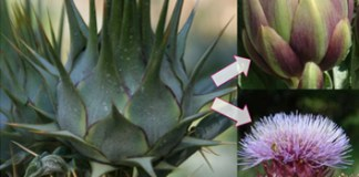 Population structure and domestication events within Cynara