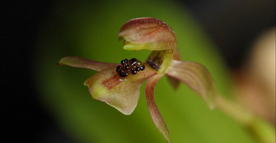 Chiloglottis trapeziformis