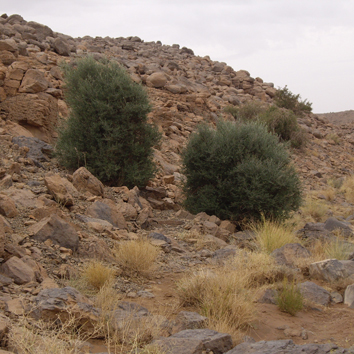 Population genetics of Mediterranean and Saharan olives
