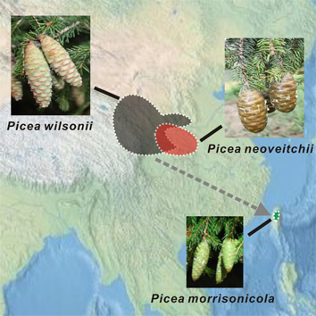 Speciation pattern and gene flow between three spruce species