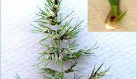 Variation of flowering and pseudovivipary in Poa