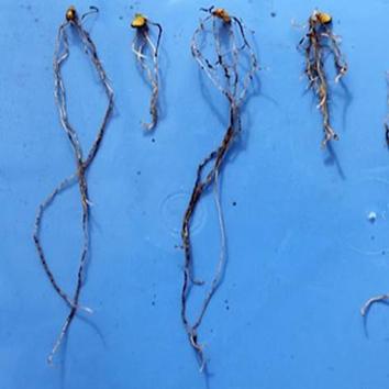 Enhancing the acid-soil tolerance of durum wheat