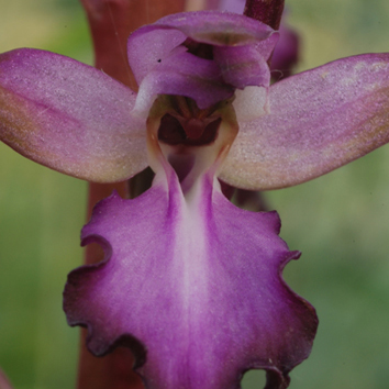 Molecular phylogenetics of the orchid Himantoglossum