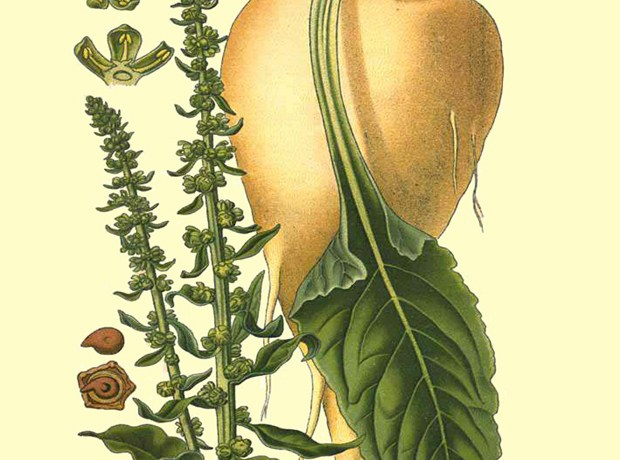 Image: Amédée Masclef, Atlas des Plantes de France, Paris: 1891.