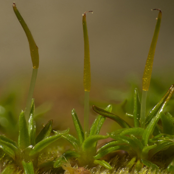 Sporophyte desiccation tolerance in the moss Aloina