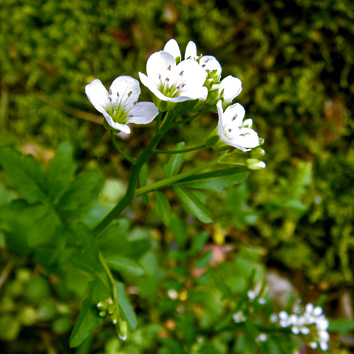 Female sterility and hermaphrodites coexist in Cardamine amara