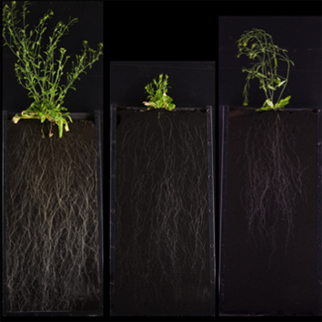 Arabidopsis semi-dwarf root systems and gibberellin biosynthesis