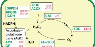 Model of reactive oxygen species (ROS) metabolism in peroxisomes from pepper fruit.
