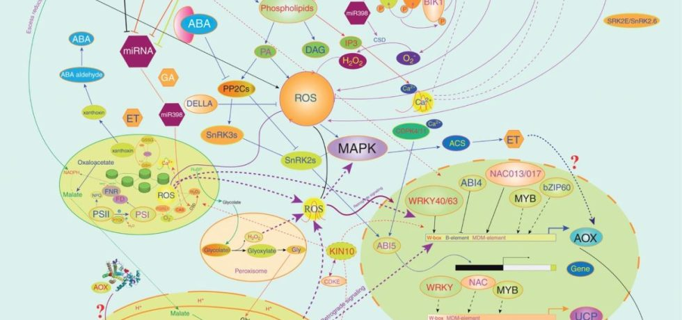 Signal cross-talk between the MEDP, ROS, calcium signalling and hormone signalling.