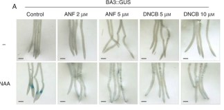 Inhibitors of NTR activity interfere with auxin response. Arabidopsis thaliana transgenic plants expressing the BA3 : : GUS and DR5 : : GUS genes were grown in ATS-agar for 4 d.