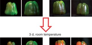 Effect of exogenous NO gas on the ripening of pepper fruits. NO (5 p.p.m.) was either applied or not applied to fruits at an early breaking point stage for 1h. Then, peppers were incubated at room temperature for 3d.