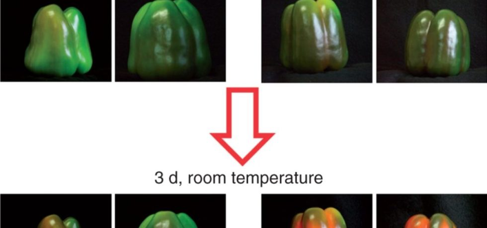 Effect of exogenous NO gas on the ripening of pepper fruits. NO (5 p.p.m.) was either applied or not applied to fruits at an early breaking point stage for 1 h. Then, peppers were incubated at room temperature for 3 d.