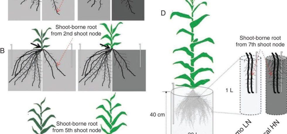 Set-up of split nitrate supply [0·5mM for low nitrate (LN) and 4·0mM for high nitrate (HN)] to roots of the maize inbred line B73.