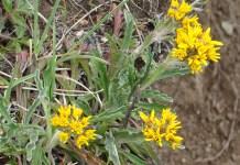 Grey Alpine Groundsel (Senecio incanus ssp. carniolicus)