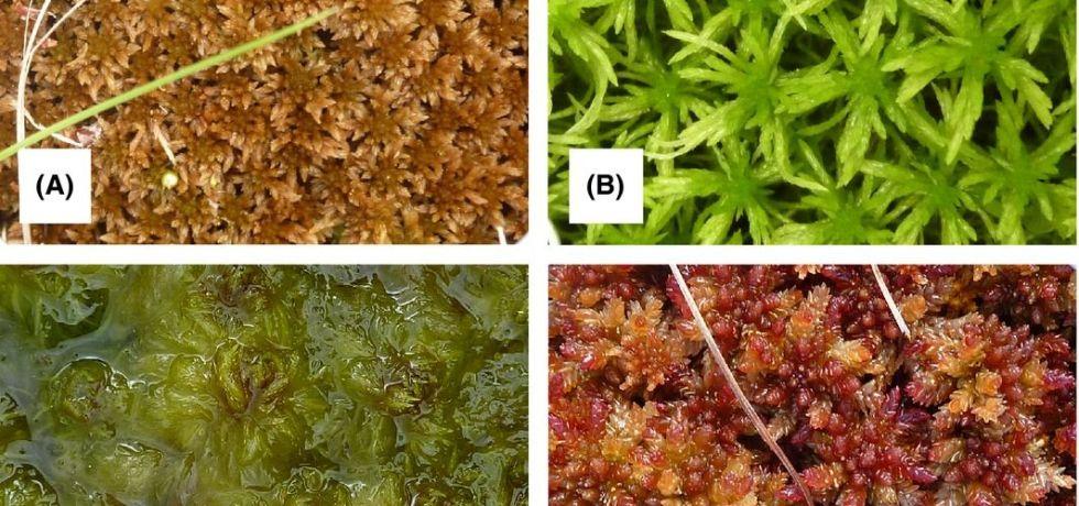 Four of the species included in the study: Sphagnum fuscum (A), S. girgensohnii (B), S. cuspidatum (C), and S. magellanicum (D).