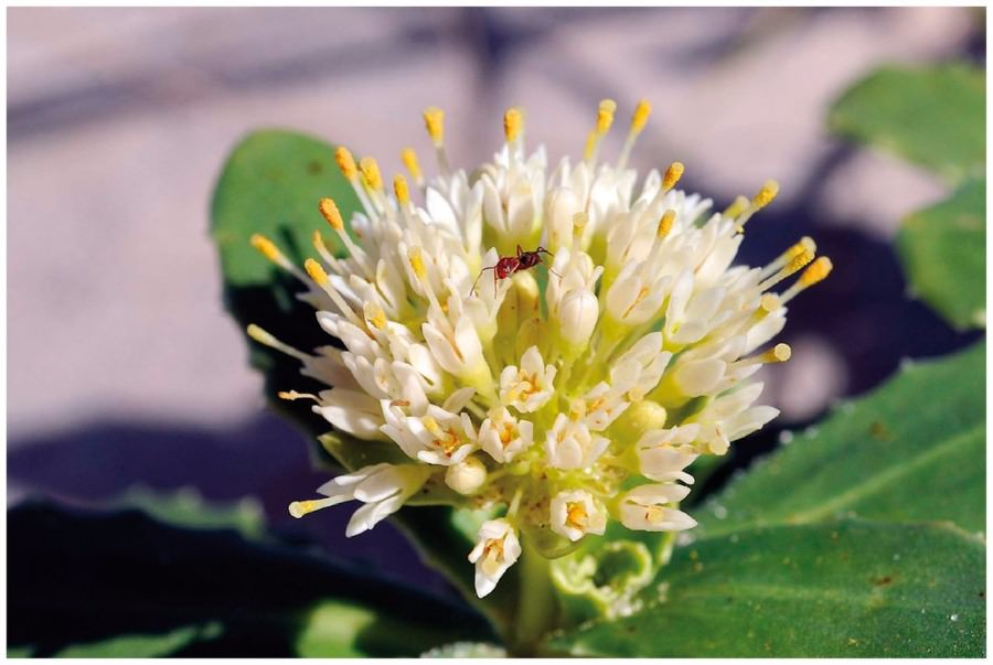 Calyceraceae - Wikipedia