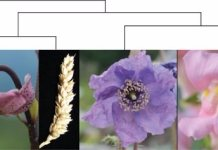 Photos of flowers from plants of diverse orders with a simplified phylogeny above, sketching their relationships. From left to right: Nymphaea colorata (water lily, basal angiosperms); Lilium marthagon (lily, monocot); Triticum aestivum (bread wheat, monocot); Meconopsis horridula (prickly blue poppy, basal eudicot); Antirrhinum majus (snapdragon, fabid); Rosa sp. (rose, malvid)