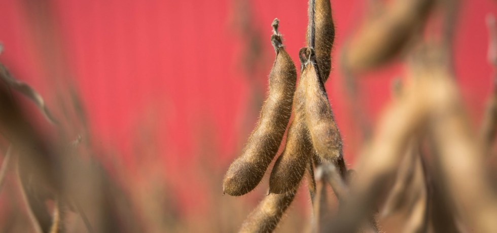 Close-up of High Oleic Soybean Pods