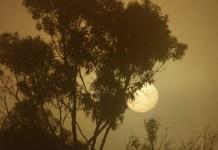Eucalyptus globulus (Blue gum)