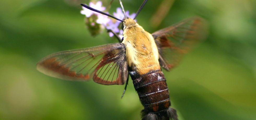 Sphinx moth nectaring on Brazilian vervain
