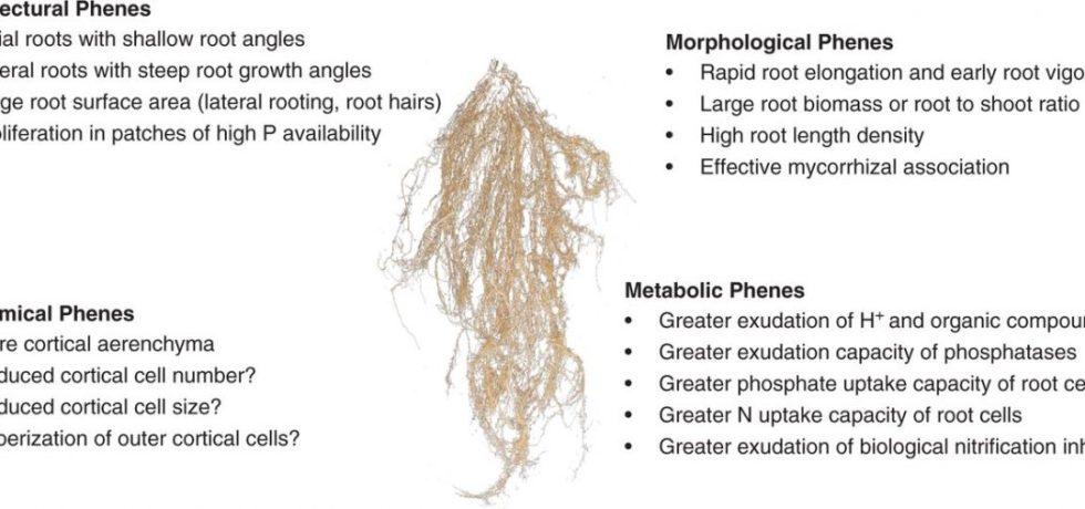 Diagram of root phenes