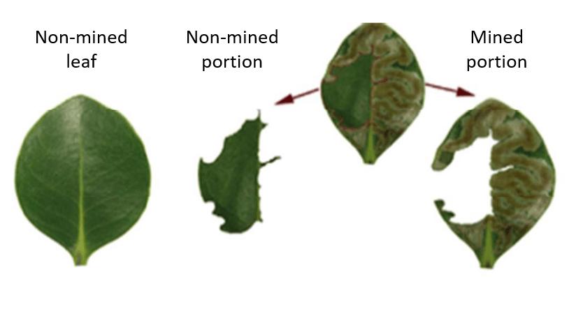 Scorched leaf