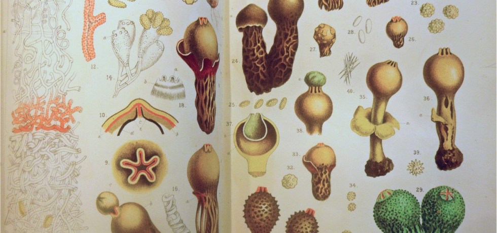 Example of the tinted plates used to illustrate some of the articles in early issues of the Annals of Botany