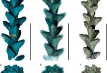 PPC-SRμCT, 3D renderings of the leafy axis of Glenrosa carentonensis, specimen IGR.BUZ-7.
