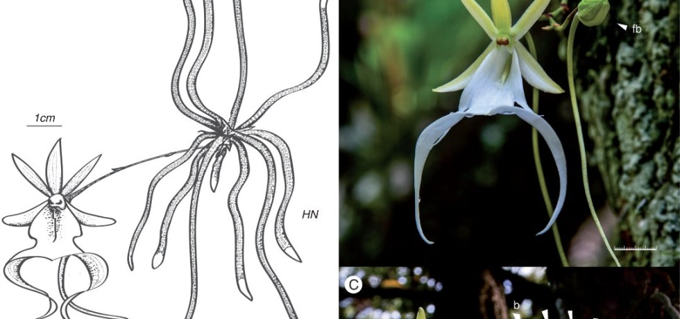 Florida ghost orchid (Dendrophylax lindenii) plant and flower.