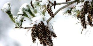 Eastern white pine (Pinus strobus) experiencing winter stress.