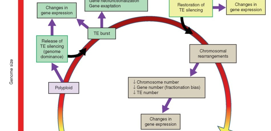 The close connections of polyploidization and TE dynamics.
