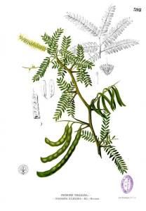 Prosopis_juliflora