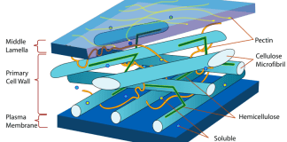 Structure of the plant cell wall.